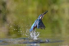 Martin pescatore _066 (Rolando CRINITI) Tags: martinpescatore uccelli uccello birds ornitologia avifauna castellapertole natura