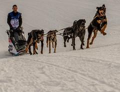 La fougue... (J&S.) Tags: france hautesavoie prazdelys grandeodyssée 2020 musher chien course neige nature perlwitz 22
