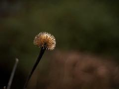 Sputnik in winter (Thomas Cizauskas) Tags: plant grass reed winter park urbanpark trail path decatur georgia closeup alternativelens cctv cinelens swirlybokeh thistle