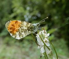 Orange-tip (m) (rockwolf) Tags: orangetip butterfly insect papillon anthochariscardamines aurore uptonmagna shropshire rockwolf