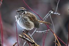 Song Sparrow (Melospiza melodia) (rangerbatt) Tags: wildutah utahwildlife nikon winter bird sparrow songsparrow melospizamelodia wasatchmountains sigma150600mmsports d7500