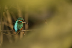 Kingfisher (Benjamin Joseph Andrew) Tags: winter one lone single individual bird waterbird freshwater river stream fishing looking patience