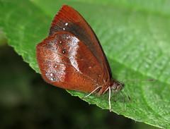 Lymanopoda obseleta (hippobosca) Tags: insect lepidoptera butterfly satyridae satyr lymanopodaobseleta ecuador macro