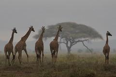 Amboseli, Kenya (franck bordas) Tags: giraffes girafes amboseli kenya