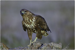 Busardo Ratonero 02 (figandPhoto) Tags: avesbirds d810 hide eltaray nikond810 fauna hideeltaray nikon sigma sigma150600 salvaje wild laguna lagoon rapaces raptors retratos pictures