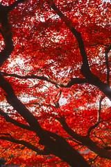 Fall Foliage in December (Taomeister) Tags: kodaknewektachrome nikonfm3a voigtlandernoktonsliis58mmf14 e100 ektachromee100 westlakehangzhou