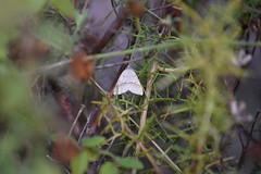 Mariposilla (esta_ahi) Tags: masdencoll santmartísarroca penedès barcelona spain españa испания mariposilla polilla moth lepidoptera insectos fauna