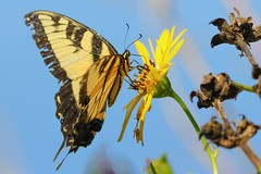 Eastern Tiger Swallowtail Butterfly (mnolen2) Tags: nature flower plant cup butterfly swallowtail tiger eastern