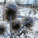 Icy Thistles - Chardon glacés