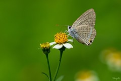 Long-tailed Blue (Lampides boeticus) (takapata) Tags: sony sel90m28g ilce7m2 macro nature insect butterfly
