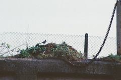 wagtail and chain (Mano Green) Tags: wagtail chain british bird birds wildlife river weaver cheshire england uk spring april 2017 boating narrowboat canal journey canon eos 300 70300mm kodak gold 200 35mm film colour