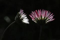 Dis-moi tout ce que tu roses (Emmanuelle2Aime2Ailes) Tags: macro fleurs pâquerettes lowkey