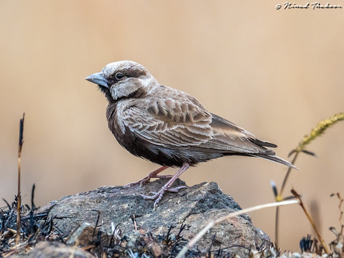 """Ashy-crowned Sparrow-Lark • <a style=""""font-size:0.8em;"""" href=""""http://www.flickr.com/photos/59465790@N04/49384332261/"""" target=""""_blank"""">View on Flickr</a>"""