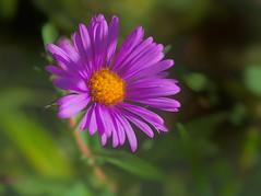 New England Aster (wdterp) Tags: wildflower aster newenglandaster purple autumn prairie tallgrassprairie