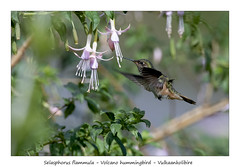 Volcano hummingbird #4 (Jan H. Boer, Nature photographer) Tags: selasphorusflammula volcanohummingbird vulkaankolibire birds hummingbirds nature wildlife inflight costarica sangerardodedota highlands nikon d500 afsnikkor200500f56e jansphotostream2020