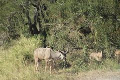 Kudu (Rckr88) Tags: kudu kudus animal animals antelope antelopes horn horns krugernationalpark southafrica kruger national park south africa nature naturalworld outdoors travel travelling