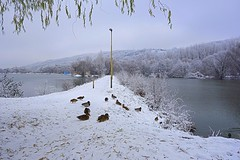 ducks in snow (majka44) Tags: duck winter lake košice slovakia forest tree 2019 snow day atmosphere mood view bird nature cold weather outside walk lines landscape water building blue colors lamp leaves road frost frozen yellow