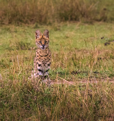 Alert Serval Cat! (Jambo53 ()) Tags: crobertkok servalcat creator roofdier kenya masaimara 2014 nikond800 toerboskat felisserval leptailurusserval longlegs