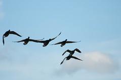 RSPBTitchOct2011-125.jpg (Peter Bennett2010) Tags: bird rspb dartmoordiary brent titchwell journal goose