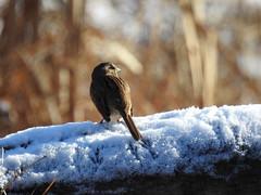 Looking South (annette.allor) Tags: songsparrow alpharidgepark howardcounty maryland melospizamelodia