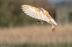 Barnie...Eyes Down (Steve (Hooky) Waddingham) Tags: animal countryside coast canon wild wildlife owl little barn hunting hover nature northumberland bird british