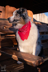 Oh.  I think that's her! (Jasper's Human) Tags: australianshepherd aussie dog cowboy goldfield