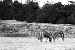 Werribee Open Range Zoo | Werribee South, Victoria (Ping Timeout) Tags: australia oz aussie november 2019 vacation holiday victoria vic werribee open range zoo south animal animals african savannah fun visit africa safari jeep zebra baby black white bw photography monochrome family herd plains plain unique pattern social stallion habitat conservation endangered species common equus burchellii near threatened plainszebra