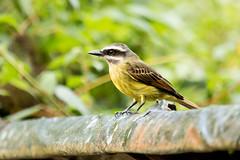 IMG_7901   Golden-crowned Flycatcher, Ecuador (ashahmtl) Tags: goldencrownedflycatcher bird flycatcher songbird myiodynasteschrysocephalus bellavistalodge pichinchaprovince ecuador