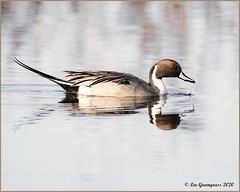 Northern Pintail Floatby (pandatub) Tags: bird birds duck pintail northernpintail cosumnes cosumnesriverpreserve