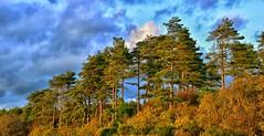 Pine Trees Newborough (Joan's Pics 2012) Tags: pinetrees eveninglight autumnal newborough anglesey sunset