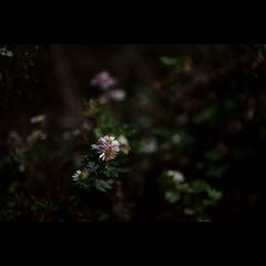 Night # 3 (alleys) Tags: 85mm 8512 night flower