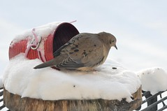Wake up, wake up, wake up sleepy head! (Jeannette Greaves) Tags: sleeping bird overnight seed feeder winter snow 2020