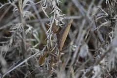 Mantis religiosa (esta_ahi) Tags: masdencoll santmartísarroca penedès barcelona spain españa испания mantisreligiosa mantis religiosa mantidae mantodea insectos fauna