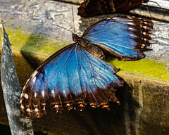 Blue Morpho on a Window Sill (Stephen G Nelson) Tags: insect butterfly bluemorpho botanicalgarden tucson arizona