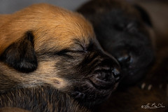 Yield in to softness and caress...! (minelflojor) Tags: chiot chiens bébé poil tête macro animal nature beau petit truffe nez museau naissance câlin tendresse bokeh mignon puppy dogs baby coat head beautiful little truffle nose snout birth hug tenderness cute tamronsp90mmf28dimacro11vcusd