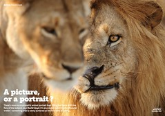 Free Content • A Picture, or a Portrait? (Wild Planet Photo Magazine) Tags: africa animalbehaviour animalportrait animalportraits davidlloyd lion lioness masaimaara portrait