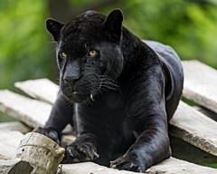 Chico on the platform (Tambako the Jaguar) Tags: big black cat d5 feline grass győr hungary jaguar lounging lying male nikon platform portrait posing resting wild zoo