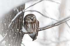 ''Doux rêve!'' Petite nycate-Northern saw-whet owl (pascaleforest) Tags: oiseau animal bird owl passion nikon nature wild wildlife faune québec canada winter hiver snow neige