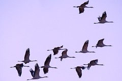 Grues cendrées (Marc ALMECIJA) Tags: outdoor outside oiseau oiseaux bird aves vogel panasonic g9 100400 camargue nature natur wildlife