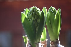 Hyacinth      Derogy  Apl.  No. 3 (情事針寸II) Tags: light macro nature bud oldlens derogyaplno3 bokeh macrodreams