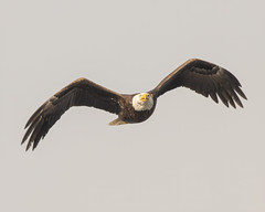 Bald Eagle in Flight (Mark Schocken) Tags: haliaeetusleucocephalus baldeagle schockenphotography markschocken