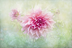 Daydream (Jacky Parker Photography) Tags: dahlia flower pinkflower summergarden summerflowering summerflower textured floralart freshness fragility beautyinnature beauty purity vitality vibrant water drops closeup selectivefocus focusonforeground flowerphotography nikond750 uk