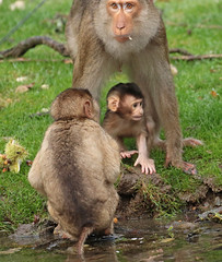 pigtailed macaque Burgerszoo BB2A0241 (j.a.kok) Tags: motherandchild animal asia aap azie mammal monkey moederenkind macaque makaak zoogdier primaat dier primate laponder pigtailedmacaque burgerszoo