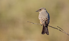 Say's Phoebe (Becky Matsubara) Tags: avian bird birds california ebrpd eastbayregionalparks flycatcher nature outdoors phoebe pointisabel pointisabelregionalshoreline ptisabel saph saysphoebe sayornissaya tyrantflycatcher wildlife ebparksok