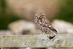 Golden Eye (Steve (Hooky) Waddingham) Tags: animal countryside coast canon wild wildlife owl little barn hunting hover nature northumberland bird british