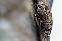Eurasian Treecreeper (Certhia familiaris) (JordanNaturePht) Tags: 200500mm d7200 nikon wildlife nature birding birder bird birds eurasian treecreeper