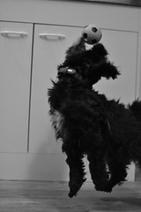 Ball Dog (Beneschr) Tags: ball dog bw black white mc monochrome play jump fun nikon nikkor 35mm f18g afs dx