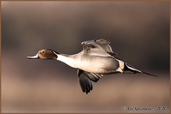 Northern Pintail Flyby (pandatub) Tags: bird birds duck pintail northernpintail cosumnes cosumnesriverpreserve