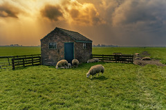 Sheep And Shed Also (Alfred Grupstra) Tags: farm sheep ruralscene agriculture grass livestock nature animal pasture meadow outdoors fence field grazing landscape nonurbanscene sky nopeople mammal scenics 901