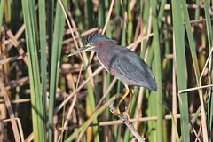 Grænhegri-Green Heron-Butorides virescens (sigmundurasgeirsson) Tags: grænhegri greenheron butoridesvirescens